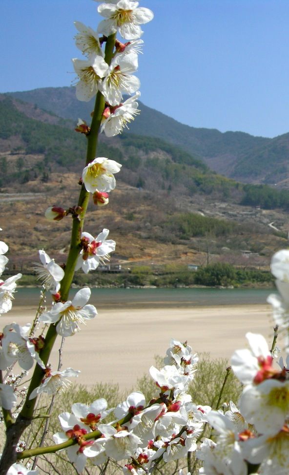 More flowers with Sumjin River in the background